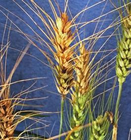 The requirements for wheat blast disease development are very warm, wet and humid conditions. Long periods of leaf wetness are required for optimal disease development.