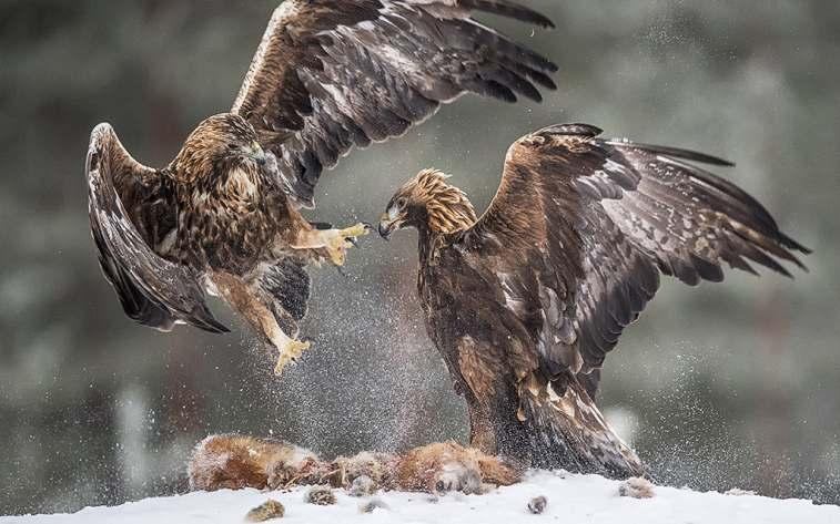 NATURE AWARDS FIAP GOLD: EAGLE